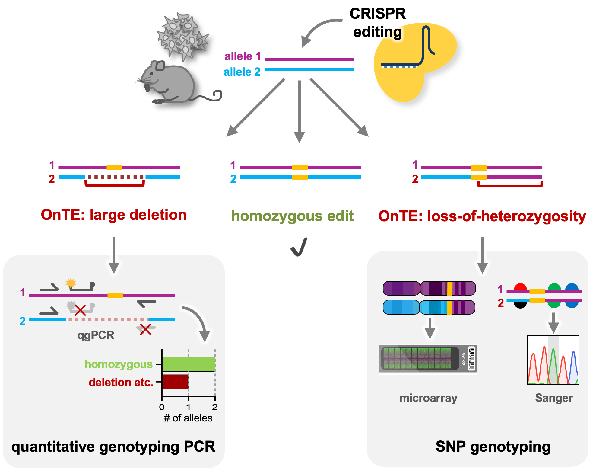 quantitative genotyping PCR can detect large deletions, insertions or complex rearrangements by identifying the number of intact alleles at the edited locus. SNP genotyping either by nearby SNP sequencing or genome-wide analysis by SNP microarrays, can identify regions of loss-of-heterozygosity.